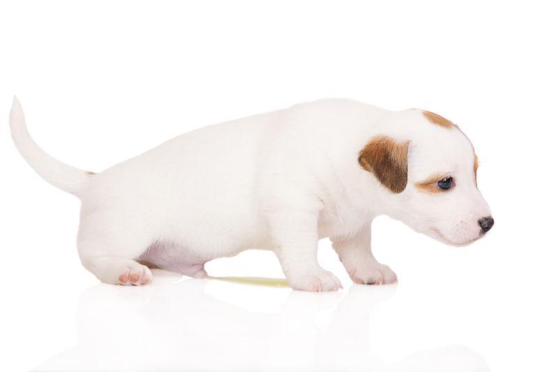 白色背景上撒尿的小狗