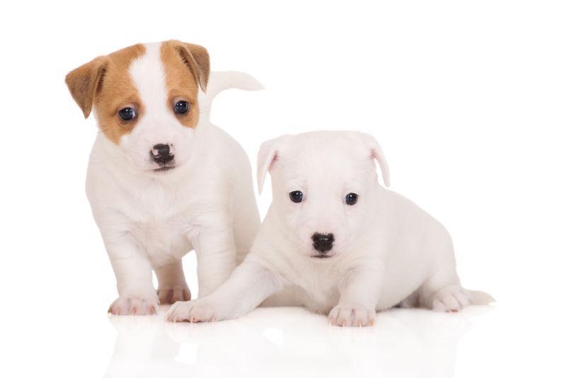 白色背景上的狗狗