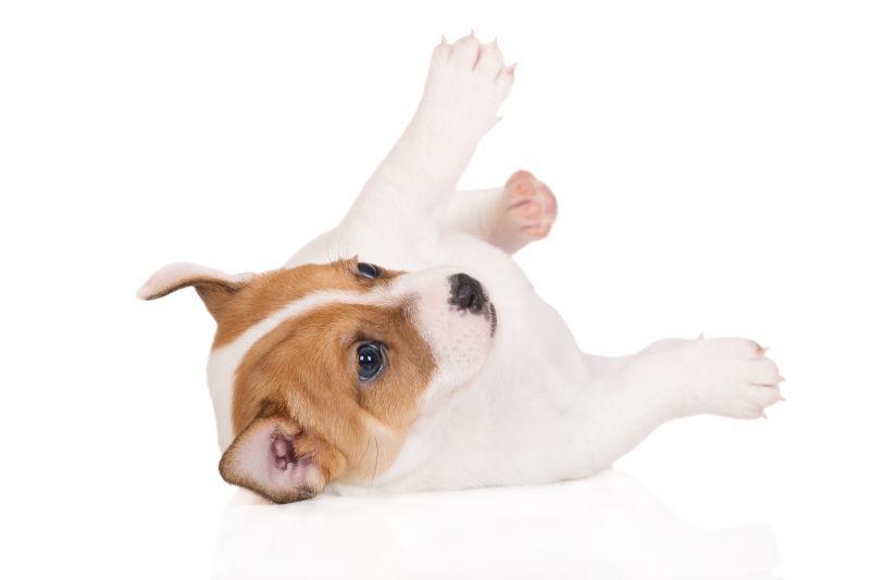 白色背景上翻滚的狗狗