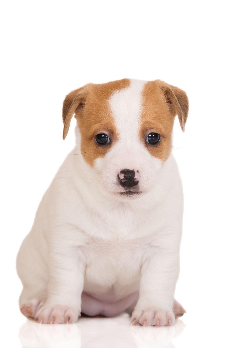 白色背景上可爱的狗
