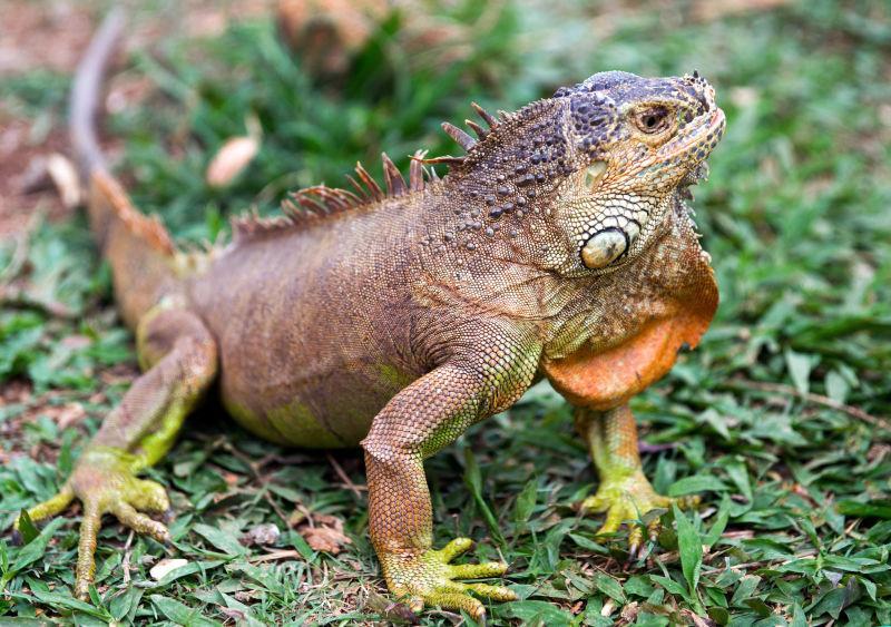 绿色草地上的野生鬣蜥