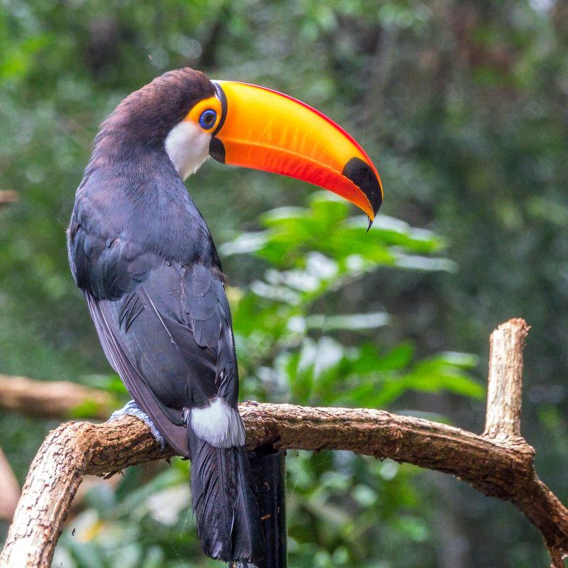 可爱的亚马逊巨嘴鸟
