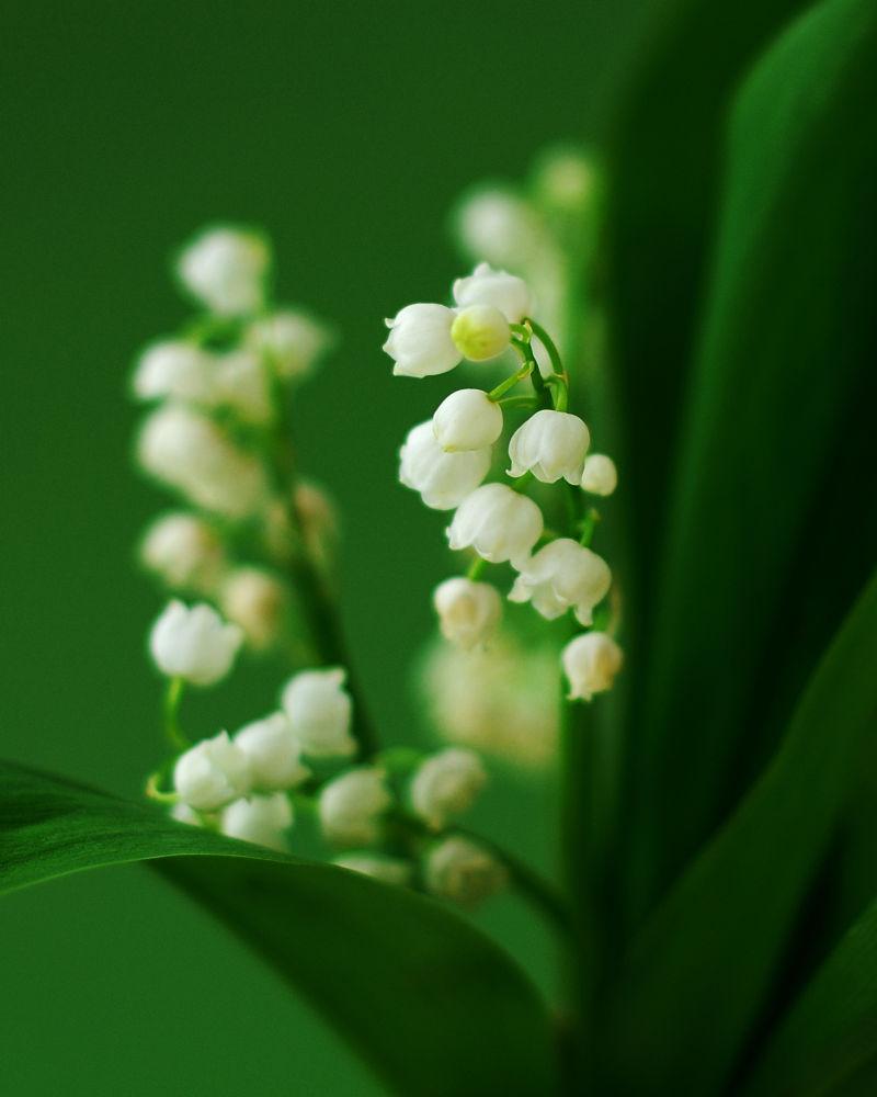 铃兰和绿叶