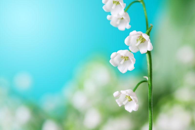 铃兰白色花开