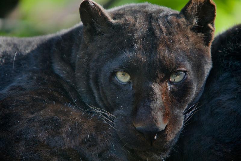 特写面部的黑豹