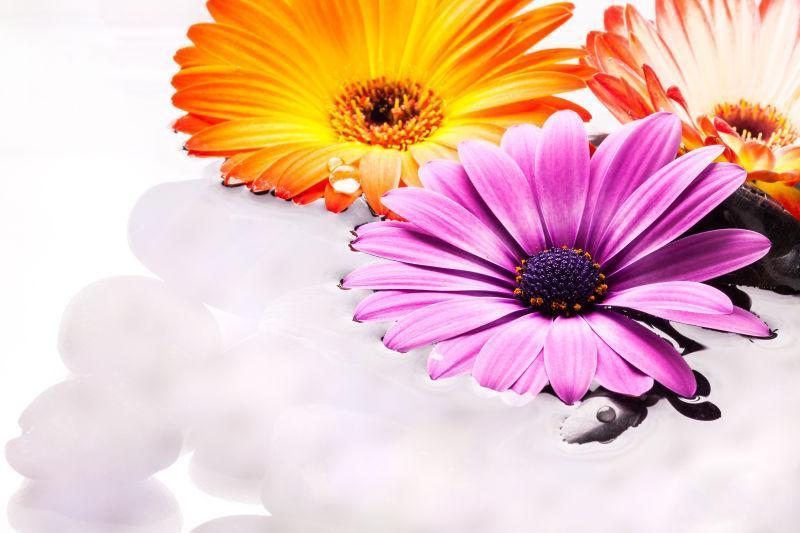 有水卵石的非洲菊花卉