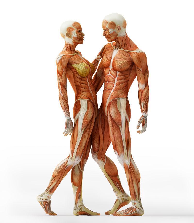 男女解剖肌肉