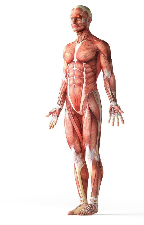 解剖学男人的肌肉