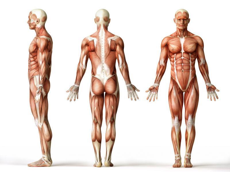 男人肌肉图