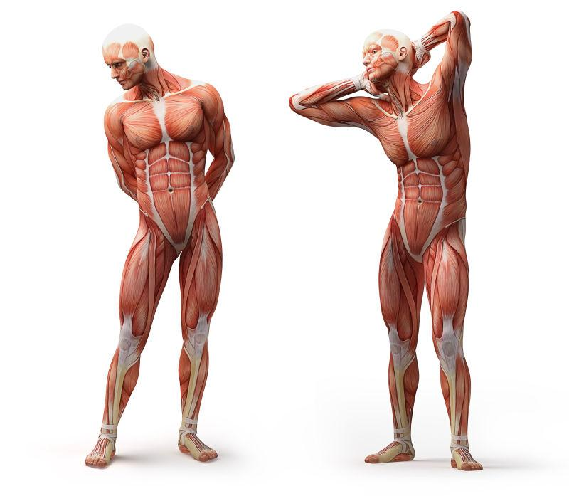 解剖学和肌肉隔离白色