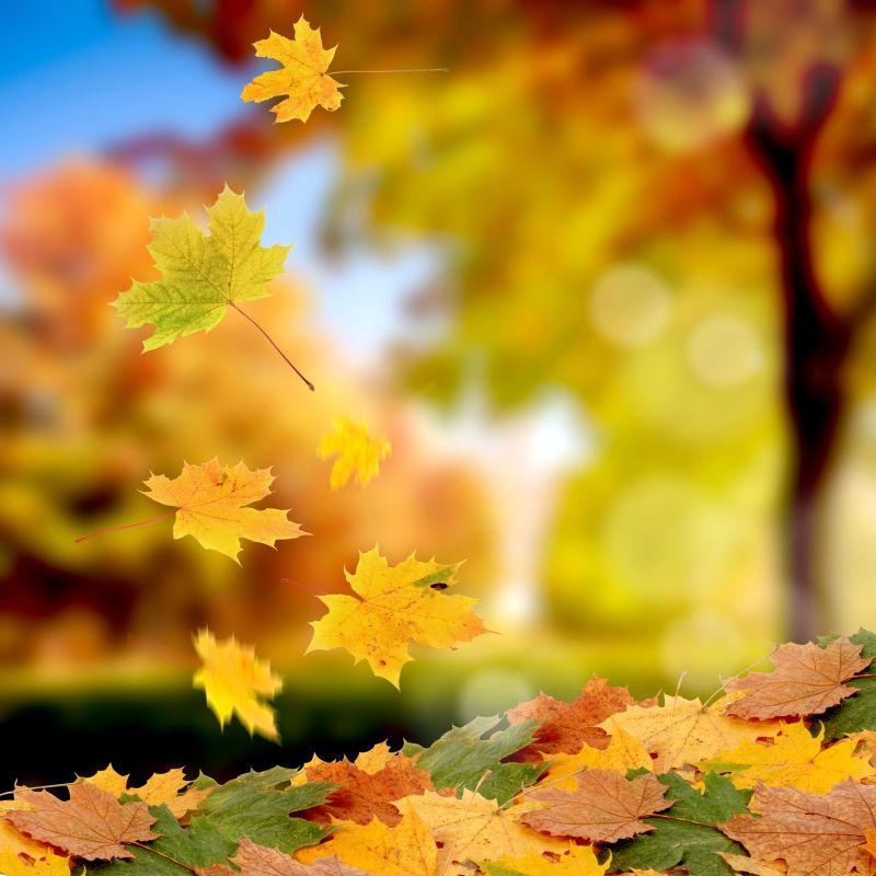 树上飘落额美丽枫叶