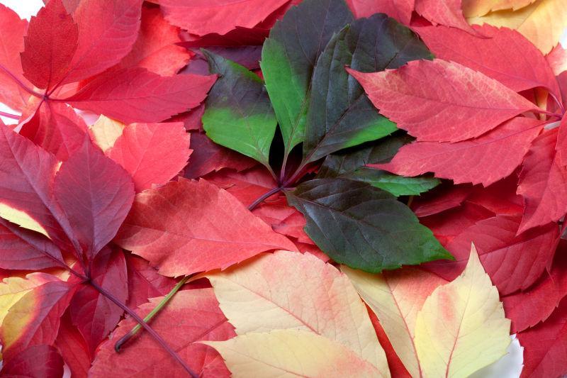 不同颜色的美丽枫叶