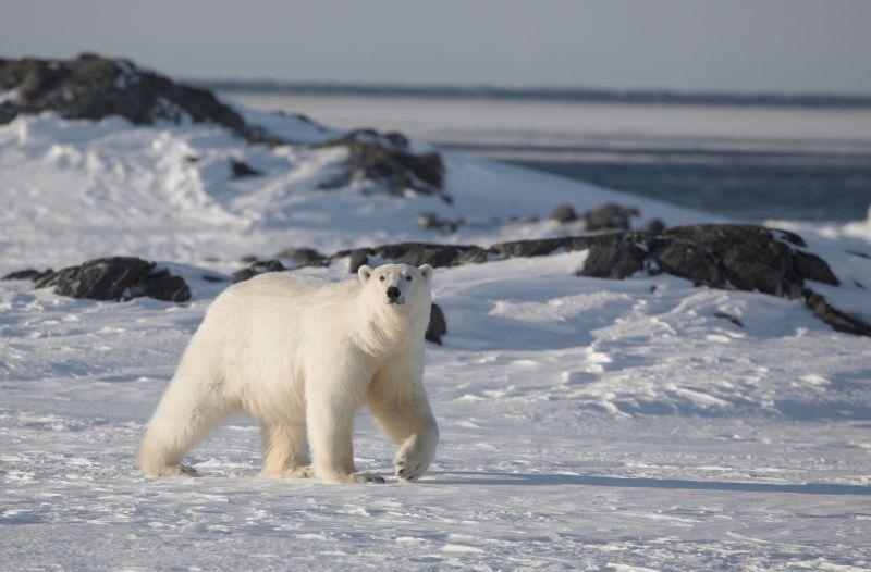 雪地里行走的北极熊