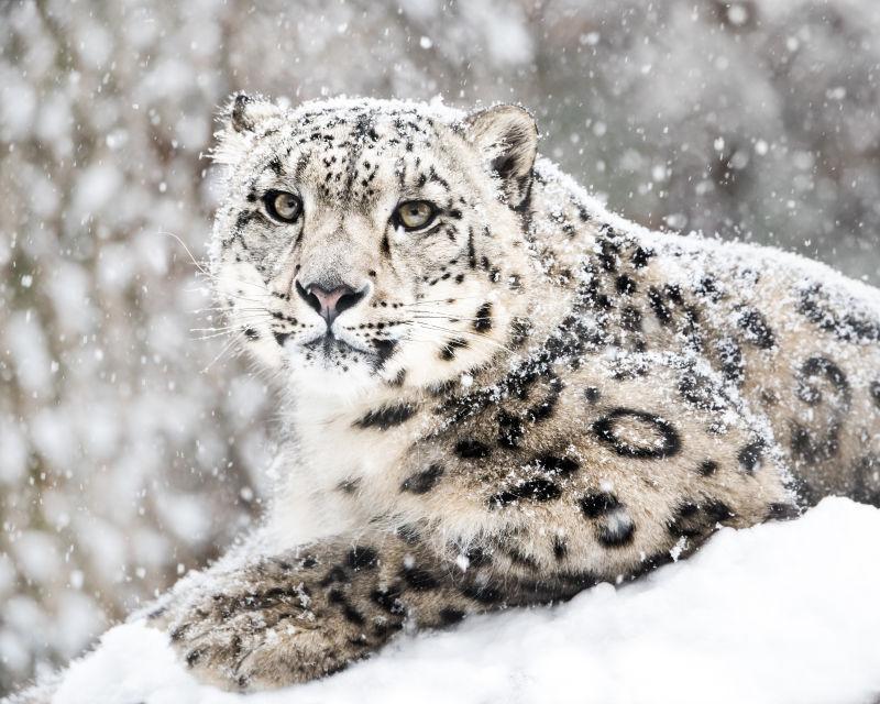 雪地里的雪豹