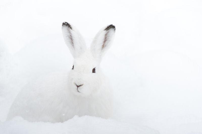 雪地里的雪白兔