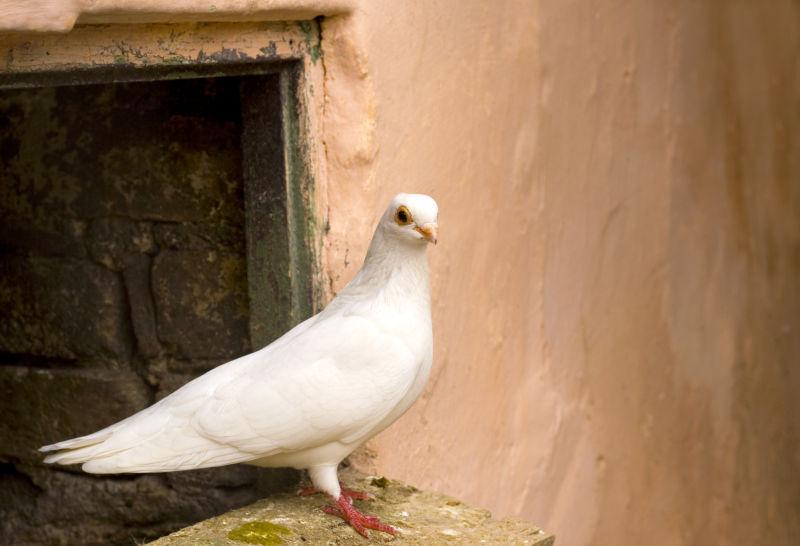 落在地上的白色的鸽子