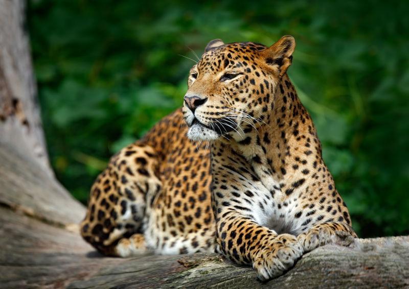 树上的斯里兰卡豹