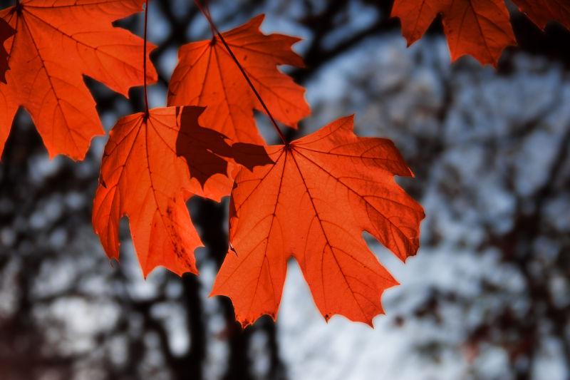 树梢上的红色枫叶