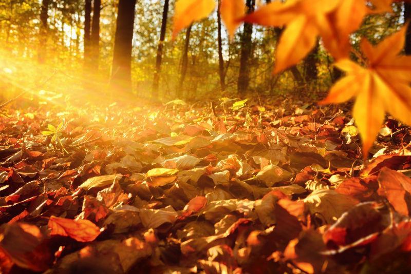 阳光下美丽的枫叶