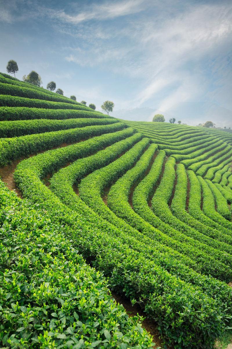 蓝天下绿色的茶园