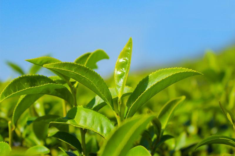蓝天下的绿色茶叶近处摄影