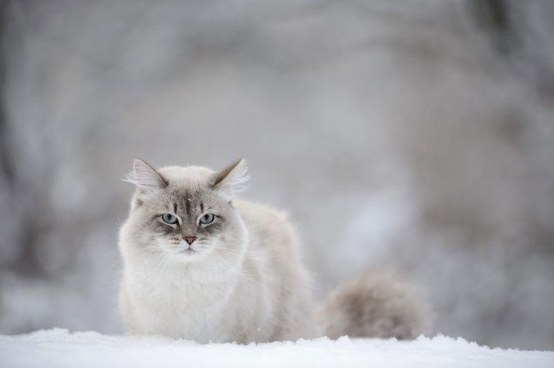 雪地上的西伯利亚猫