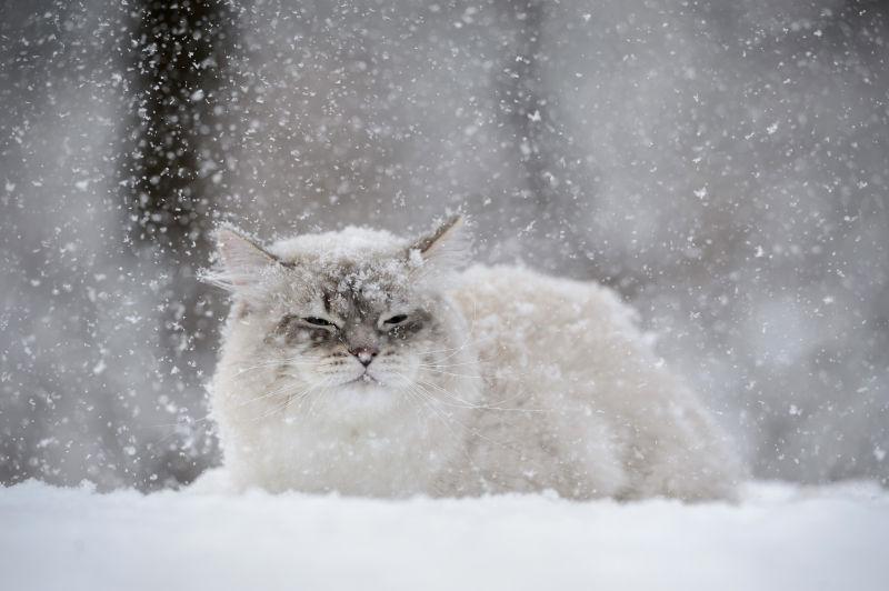 趴在雪地上的西伯利亚猫