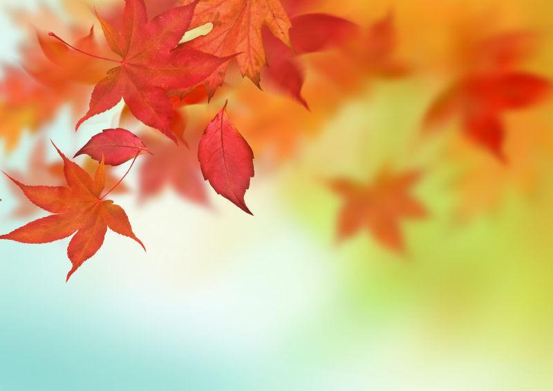 枝头漂落的红色枫叶