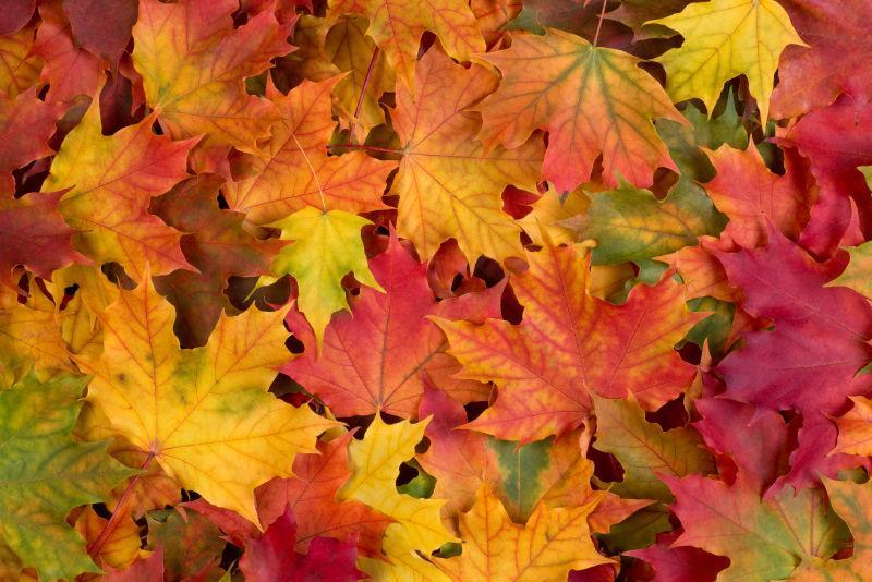 落在地面的枫叶