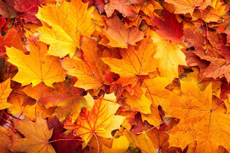地面上金黄的枫叶