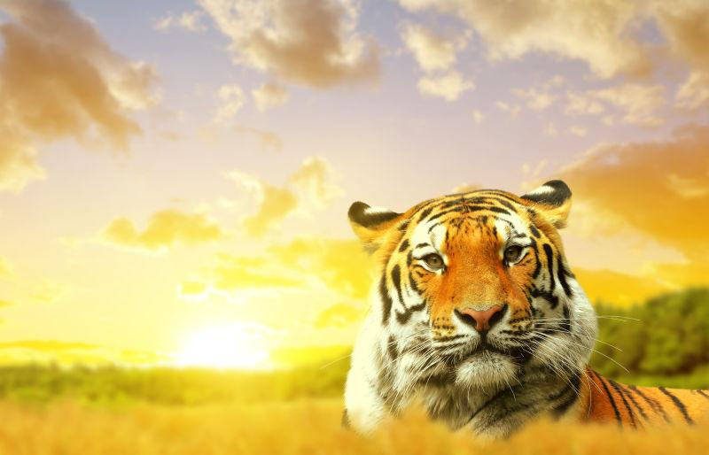 日落时的老虎