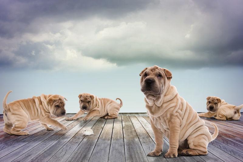 木板上的沙皮小狗