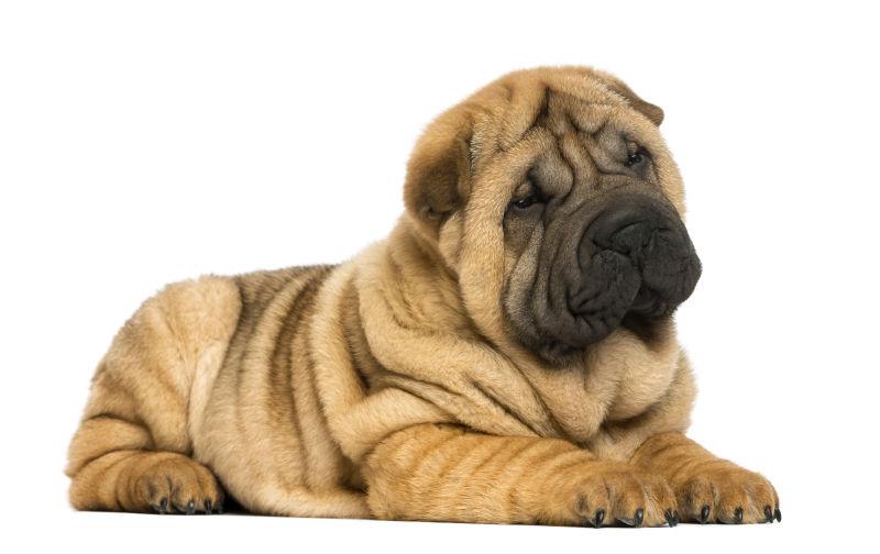 黄色沙皮小狗