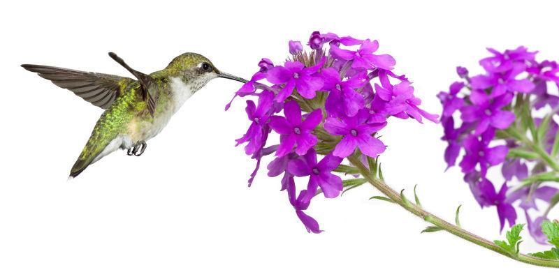 蜂鸟从紫色马鞭草中摄取花蜜