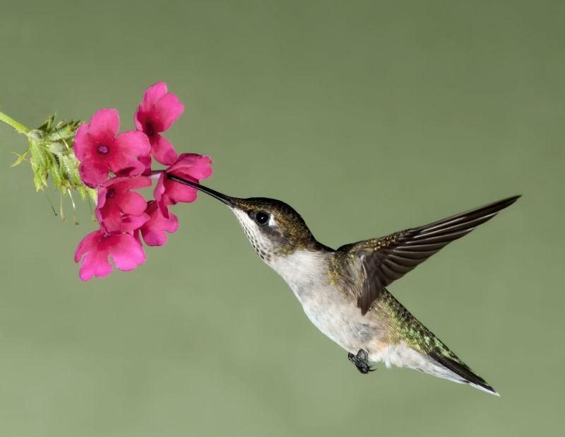 摄取花蜜的蜂鸟