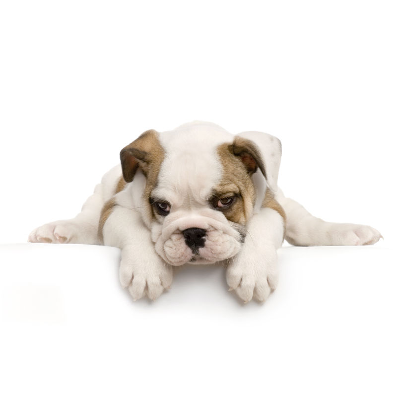 白色背景下的哈巴狗