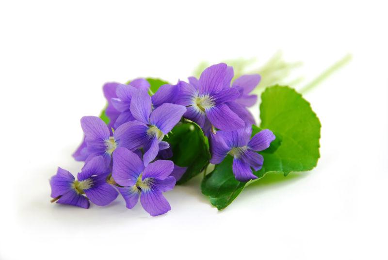 白色背景上的紫罗兰
