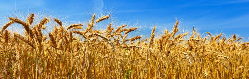 篮天下金黄色的小麦