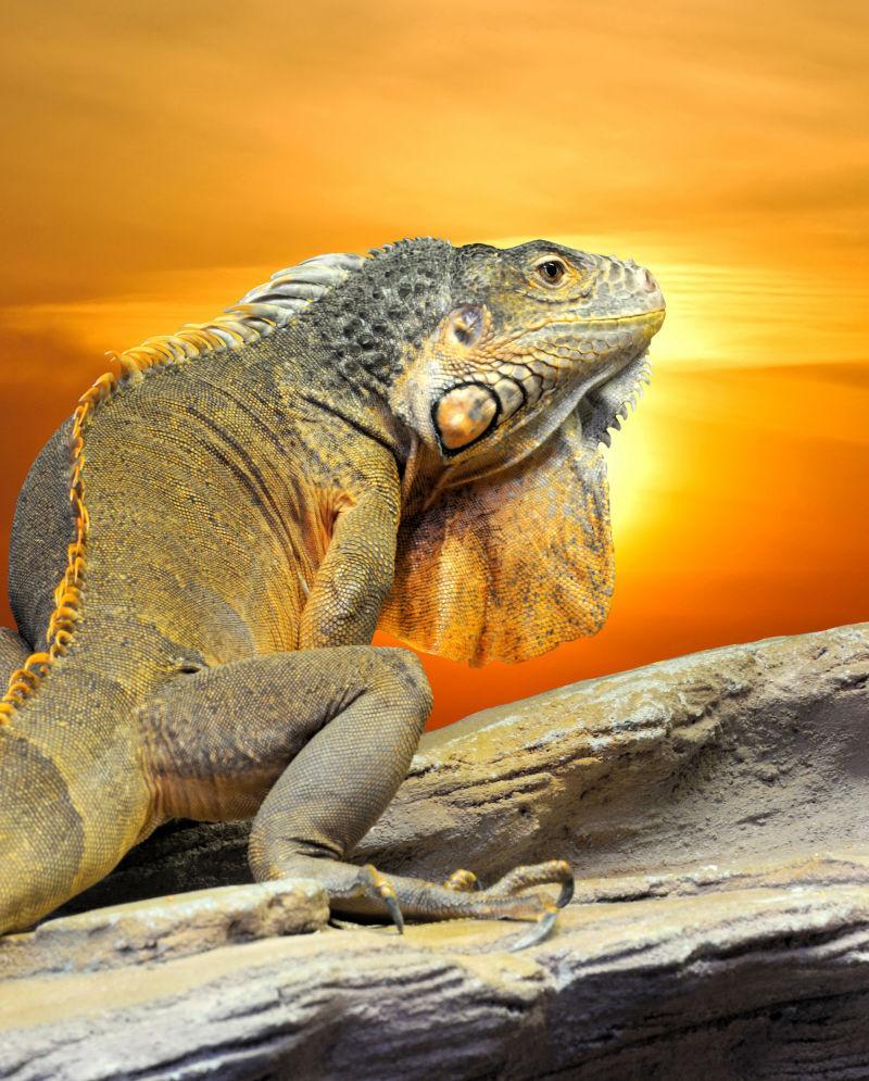 夕阳照射下的蜥蜴