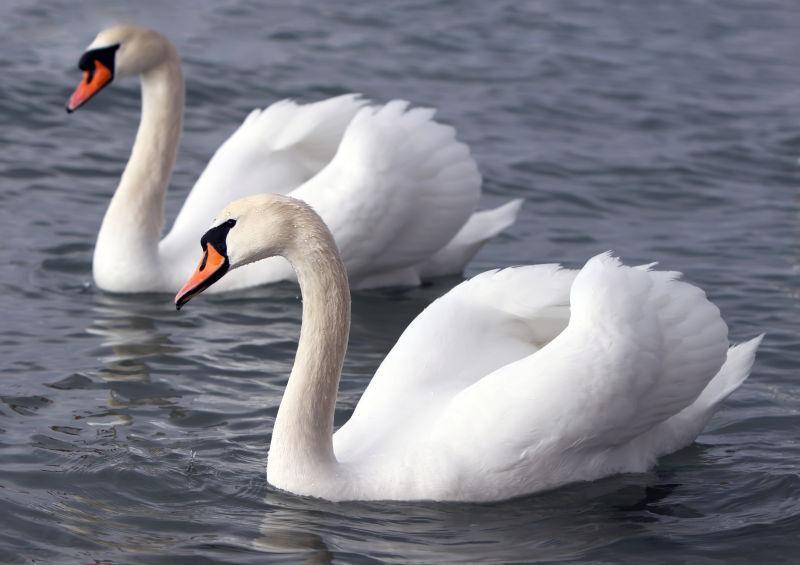 白天鹅在水中
