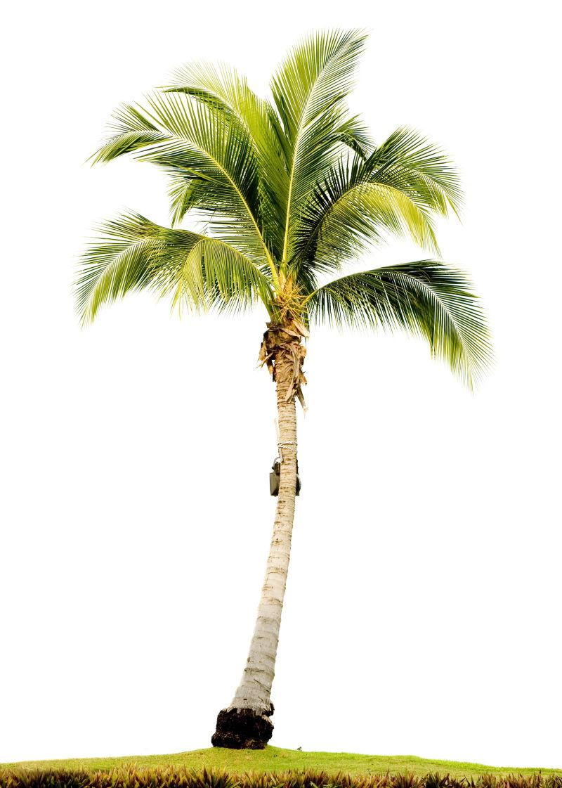 白色背景下的高大棕榈树