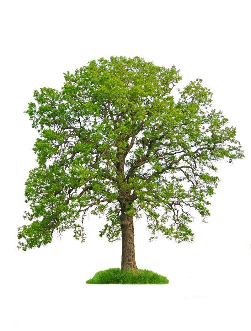 白色背景上的一棵孤独的树木
