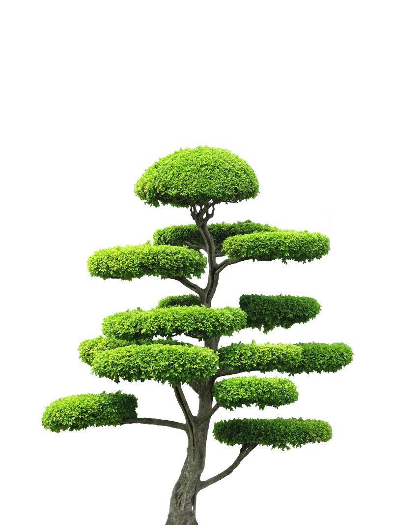 白色背景上的观赏树木