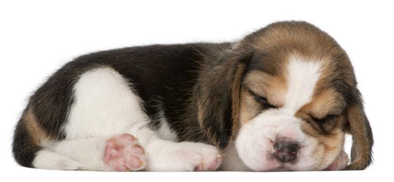 Beagle小狗