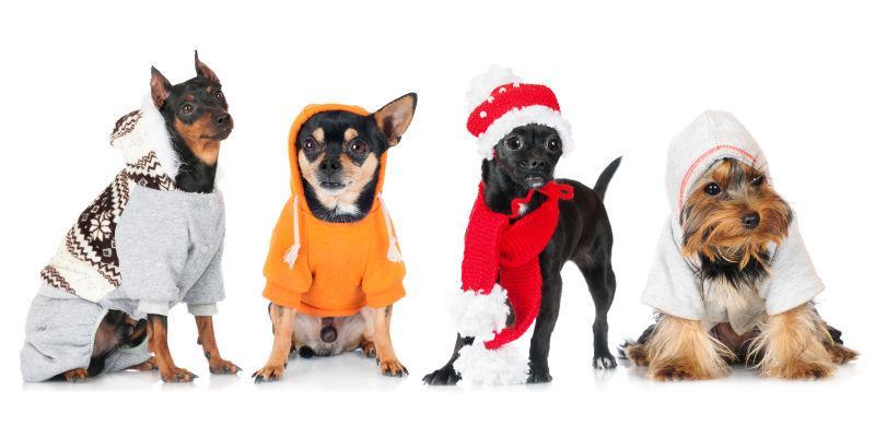 白色背景上穿着衣服的4个狗狗