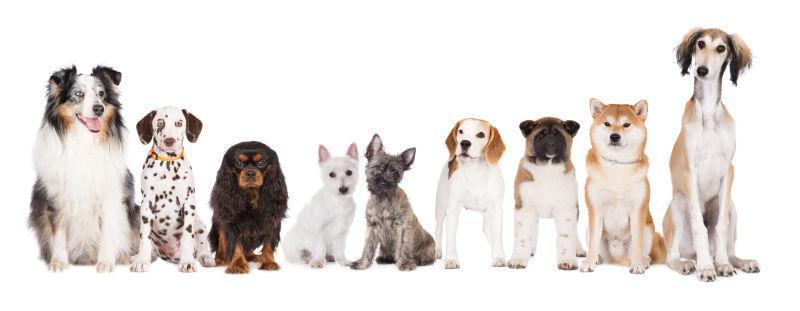 白色背景上整齐坐着的不同品种的狗狗