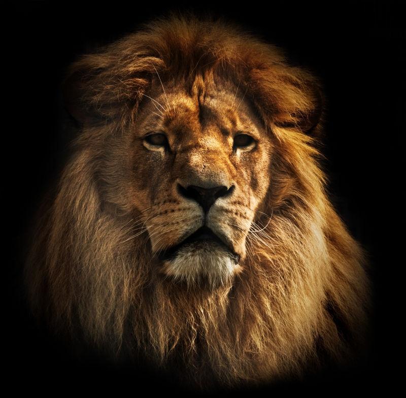 黑色背景下的成年狮子