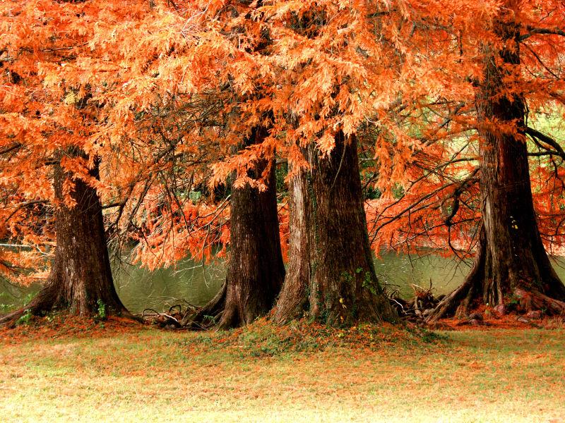 小溪旁的大树落下了无数的叶子