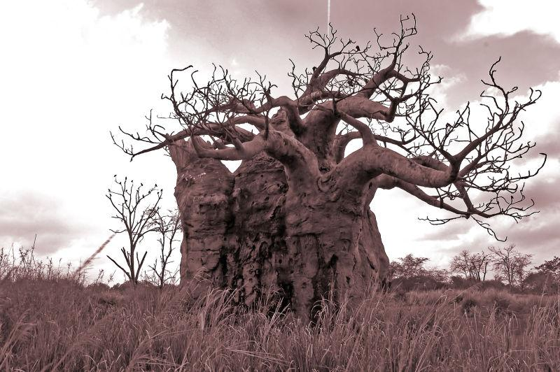 沙漠里古老的枯树