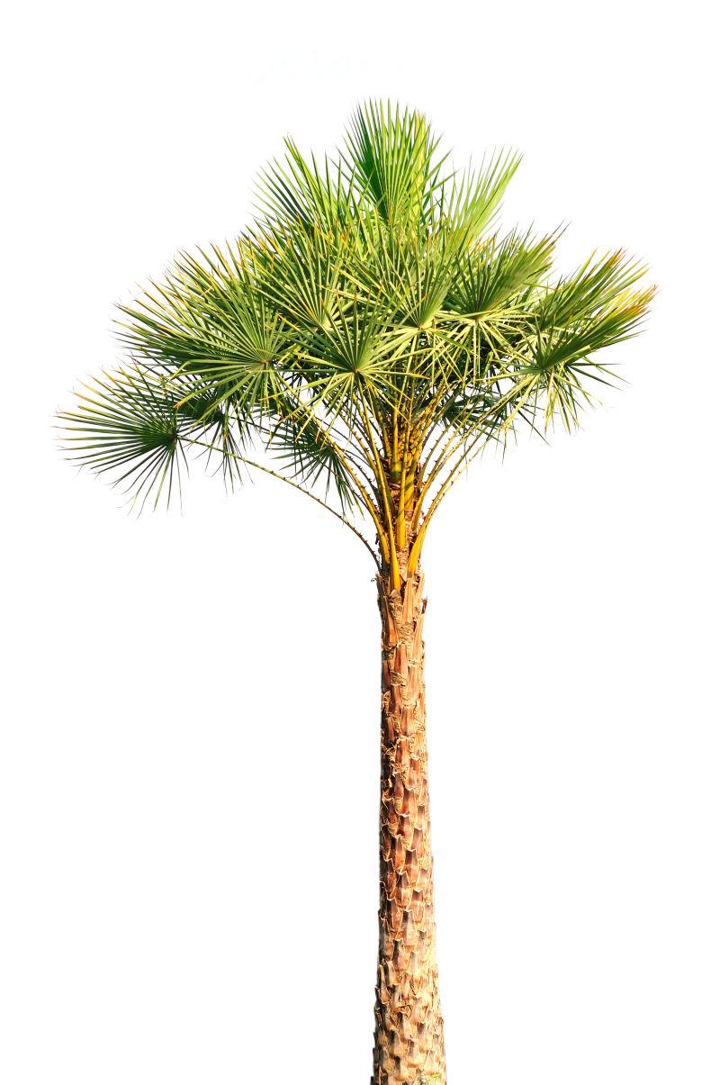 白色背景下孤立的一棵棕榈树
